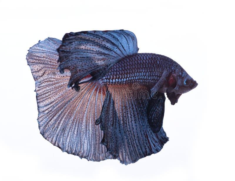Błękitna betta ryba ja obrazy stock