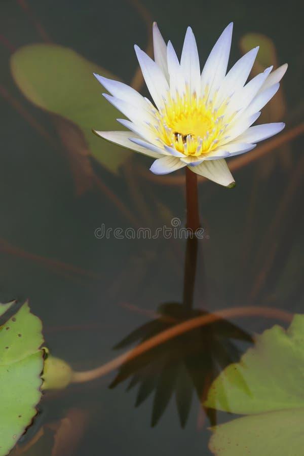 Błękitna Biała Wodna leluja, Nymphaea sp &-x28; Hybrid&-x29; , kwiat fotografia royalty free
