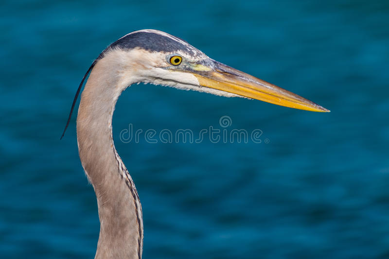 Błękitna czapla Przygląda się ryba obraz royalty free