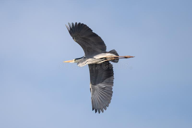 Błękitna czapla w Danube delcie, Rumunia przyrody ptasi dopatrywanie zdjęcie stock