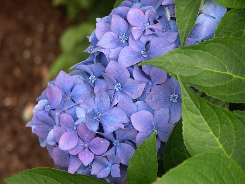 Błękitna hortensja z liśćmi obrazy royalty free