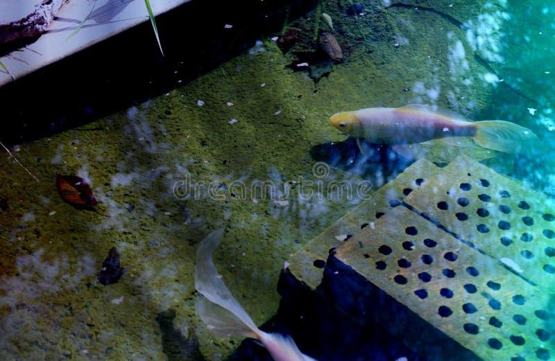 Błękitna hued fotografia goldfish staw z odbiciami zdjęcia royalty free