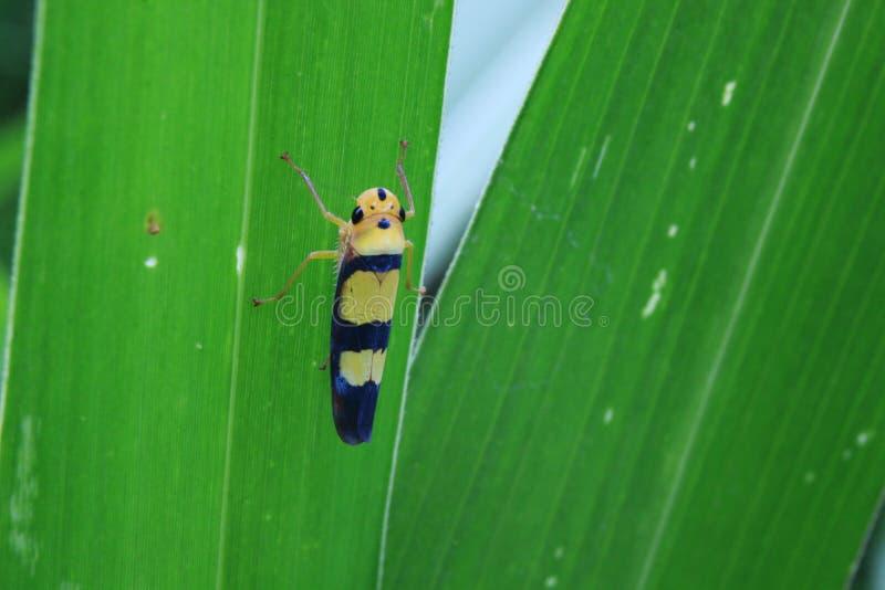 Błękitna i żółta pluskwa siedzi z tyłu zielonego liścia w dżungli - Graphocephala versuta - obrazy royalty free
