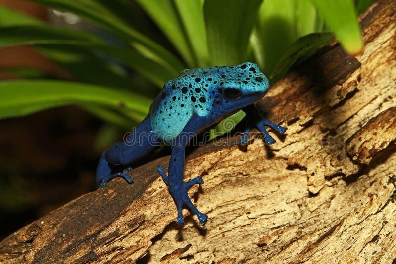 Błękitna jad strzałki żaba fotografia stock