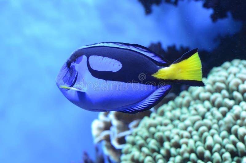 Błękitna Królewska blaszecznica W akwarium zdjęcie stock
