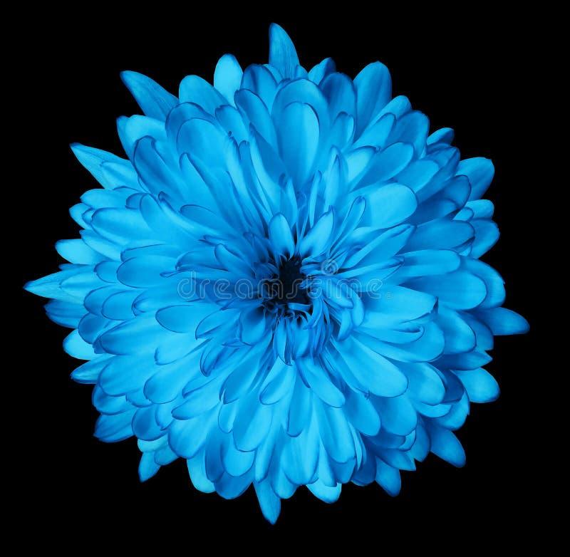 Błękitna kwiat chryzantema, ogrodowy kwiat, czerni odosobnionego tło z ścinek ścieżką zbliżenie Żadny cienie zielony centre zdjęcie royalty free