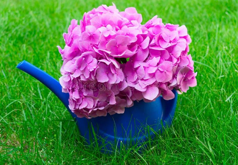 Błękitna podlewanie puszka dla nawadniać kwiaty i różowy Hortensia kwitniemy na selen trawie kosmos kopii zdjęcie royalty free
