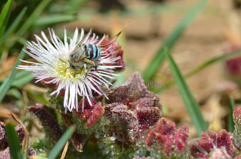 Błękitna pszczoła zdjęcie royalty free