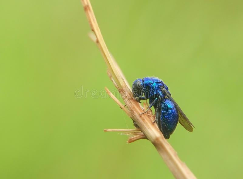 Błękitna pszczoła obraz royalty free