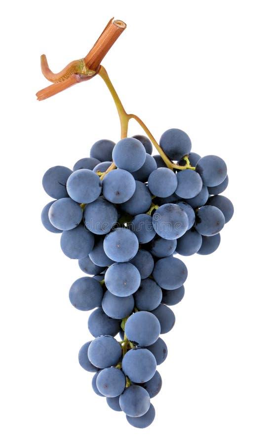 Błękitna purpurowa ciemna wina winogrona wiązka odizolowywająca na białym tle jak szczegół dla pakować projekt obraz stock