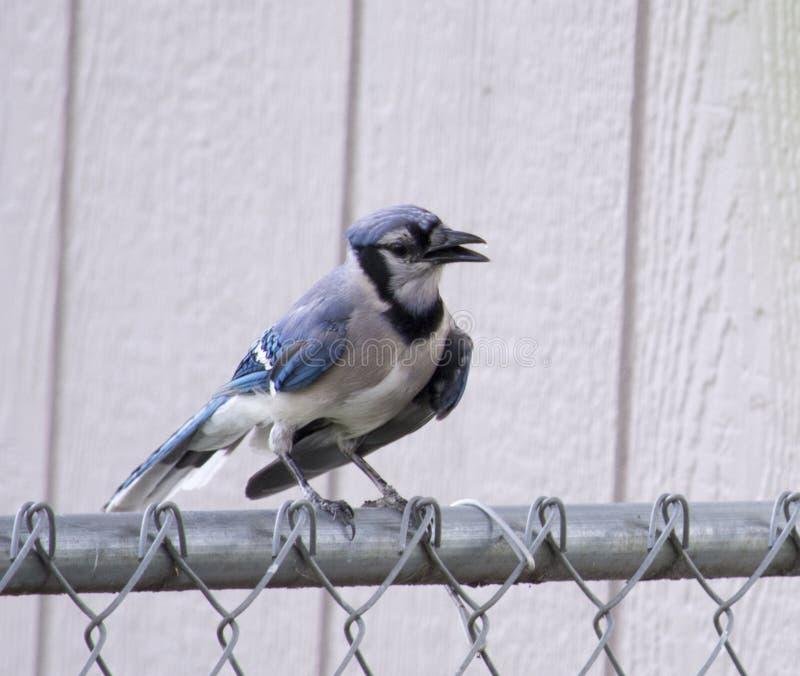 Błękitna sójka na ogrodzeniu zdjęcie royalty free