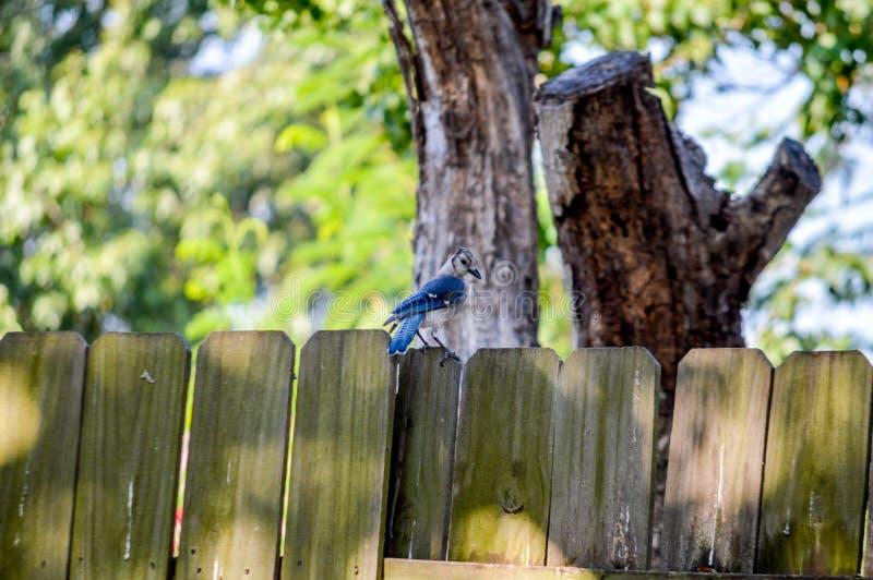 Błękitna sójka na ogrodzeniu obrazy stock