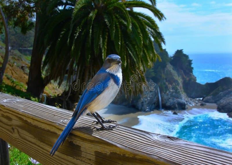 Błękitna sójka na ogrodzeniu zdjęcia royalty free