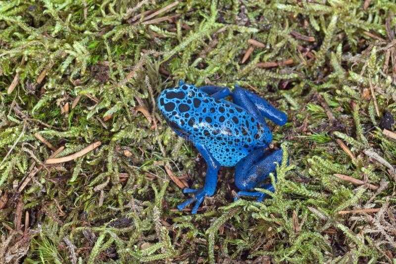 Błękitna strzałki żaba obrazy royalty free