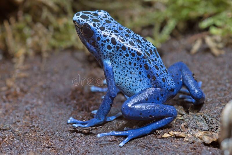 Błękitna strzałki żaba obraz stock