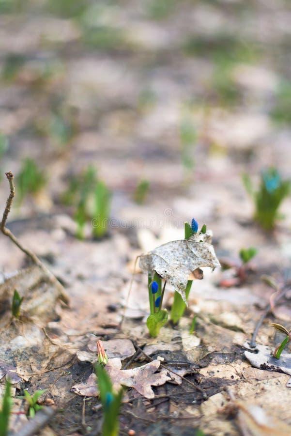 B??kitne ?nie?yczki, w g?r? wiosna kwitnie w lesie w Marzec T?o fotografia obrazy royalty free