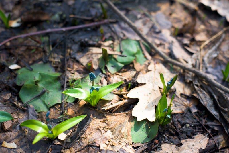 B??kitne ?nie?yczki, w g?r? wiosna kwitnie w lesie w Marzec T?o fotografia fotografia stock