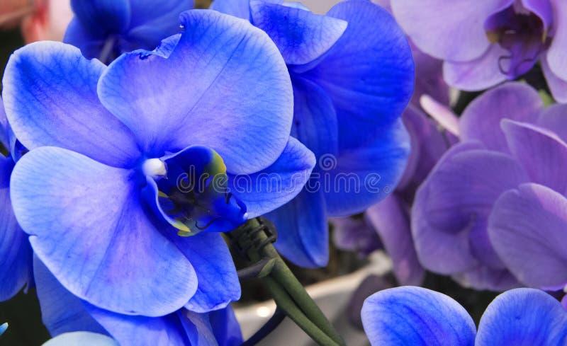 Błękitne i purpurowe orchidee w zakończeniu w górę zdjęcia stock