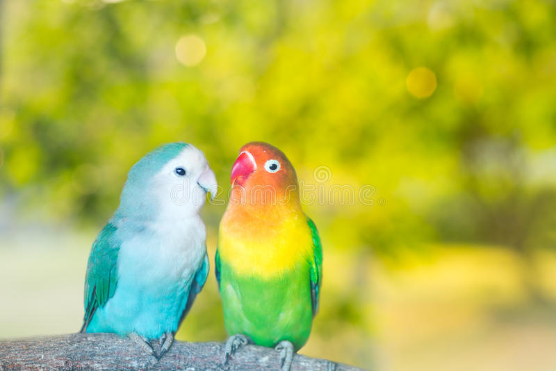 Błękitne i zielone Lovebird papugi siedzi wpólnie na drzewnym branc obraz stock