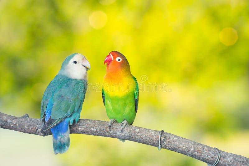 Błękitne i zielone Lovebird papugi siedzi wpólnie na drzewnym branc obrazy stock