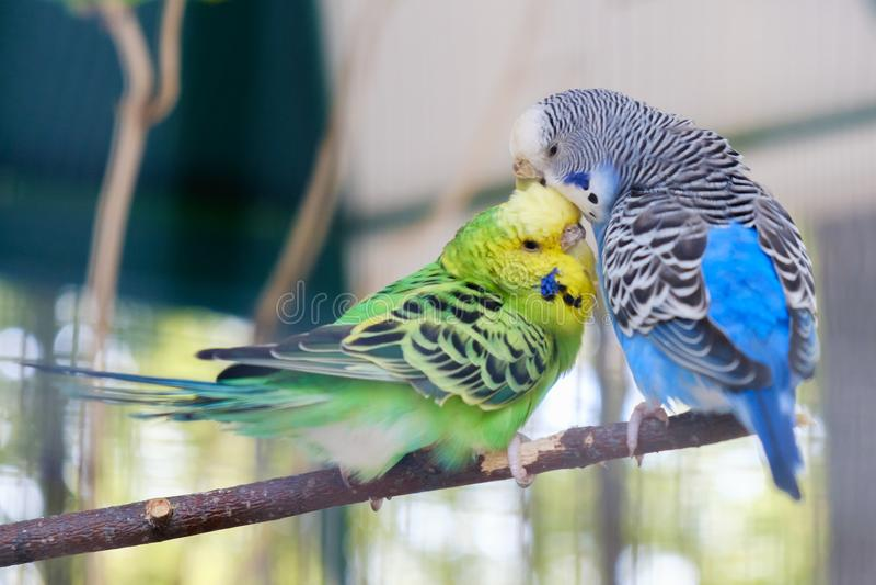 Błękitne i zielone Lovebird papugi siedzi wpólnie na gałąź, Lovebird buziak obraz stock