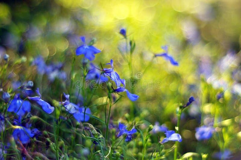 błękitne kwiaty zdjęcie stock
