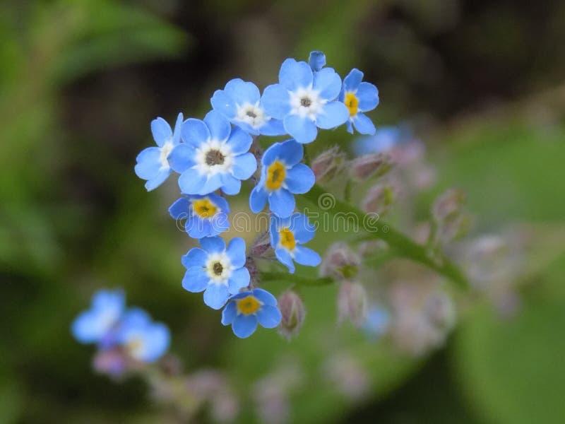 błękitne kwiaty nie zapominają fotografia stock