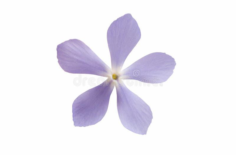 błękitne kwiaty odizolowane zdjęcie stock