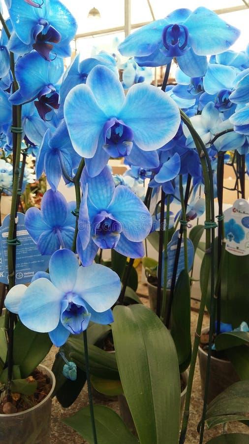 Błękitne orchidee w kwiatów garnkach zdjęcie royalty free