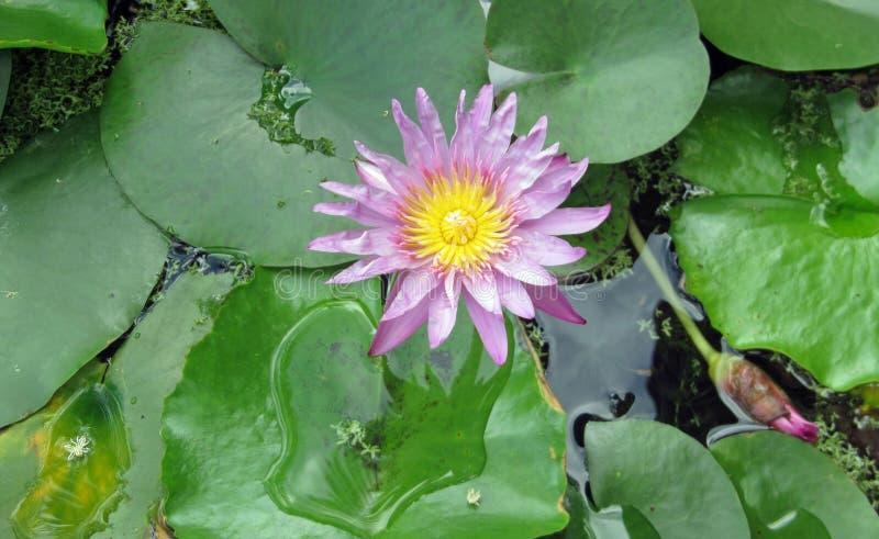 Błękitne wody lilly, Kauai, Hawaje obrazy stock