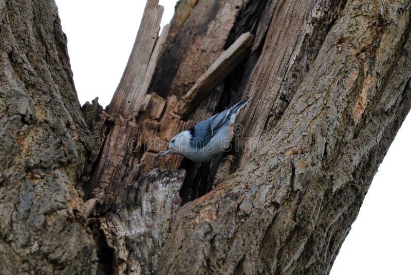 Błękitnego białego bargla piękny ptak w Michigan zdjęcia royalty free