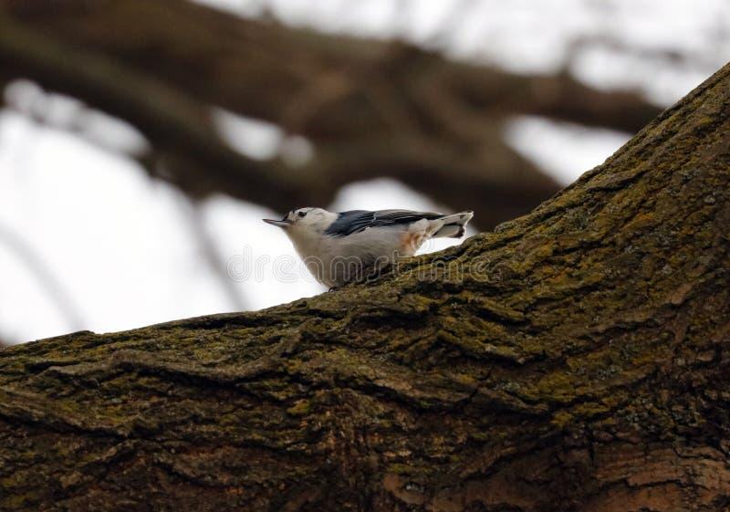 Błękitnego białego bargla piękny ptak w Michigan obraz royalty free