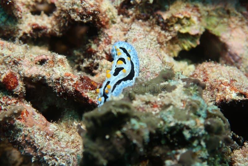 Błękitnego czerni żółtego nudibranch denna podrożec zdjęcie royalty free