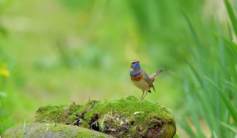 Download Błękitnego gardła Luscinia obraz stock. Obraz złożonej z naturalny - 53775191