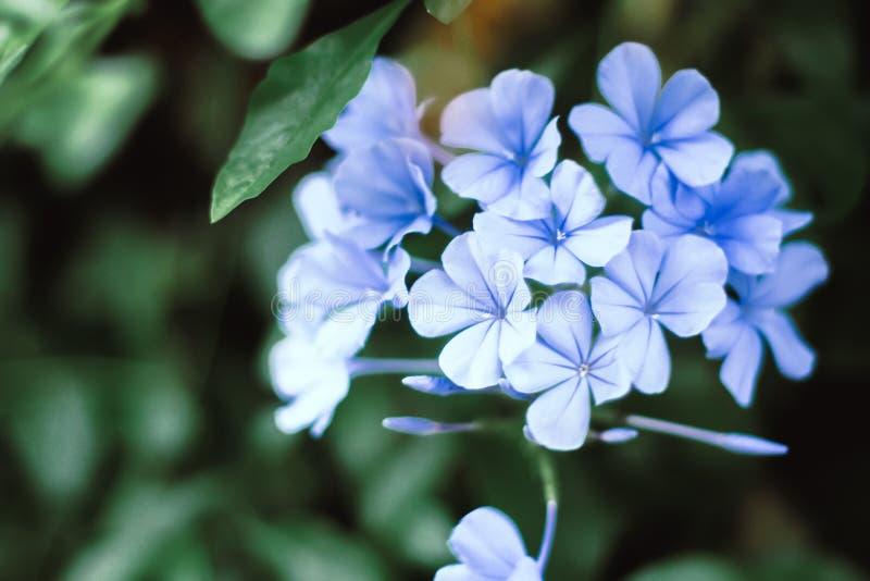 Błękitnego hortensja breathtaking kwiatu błękitne hortensje przychodzić w żywej i uderzającej colours zielonej natury plamy ciemn zdjęcie stock