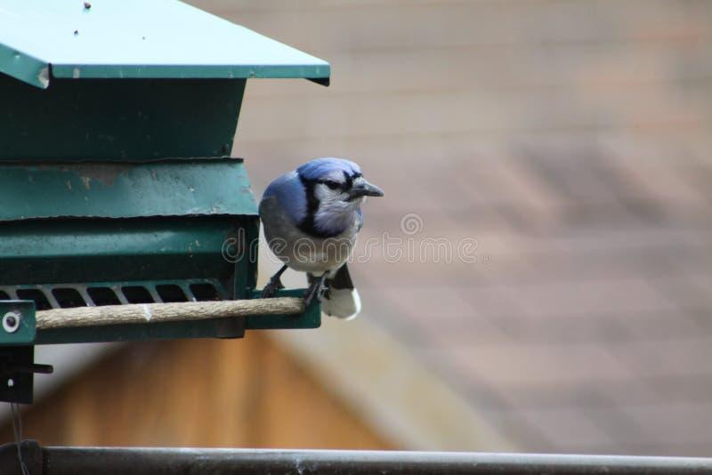 Błękitnego Jay Cyanocitta cristata na dozowniku zdjęcie royalty free