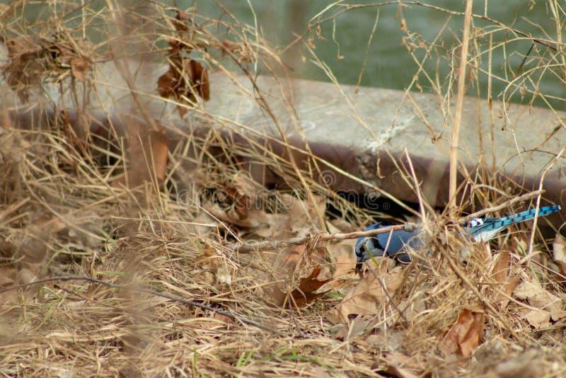 Błękitnego Jay Cyanocitta cristata siedzi drzewa w zimie (Cyanocitta cristata) strzelający w Południowym Ontario obraz royalty free