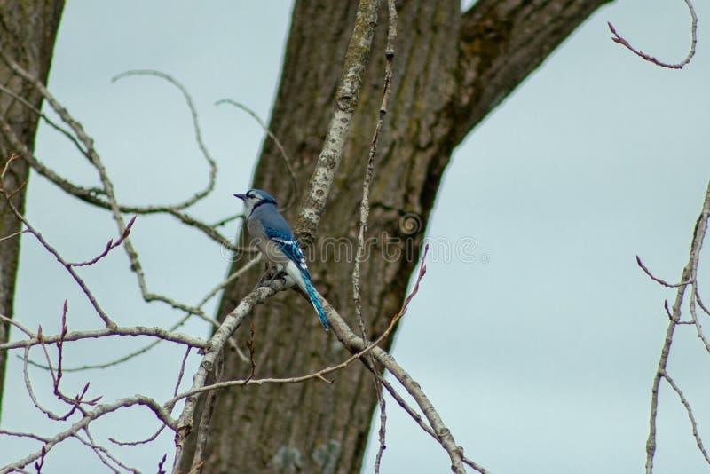 Błękitnego Jay Cyanocitta cristata siedzi drzewa w zimie (Cyanocitta cristata) strzelający w Południowym Ontario fotografia royalty free