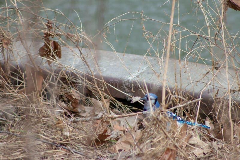 Błękitnego Jay Cyanocitta cristata siedzi drzewa w zimie (Cyanocitta cristata) strzelający w Południowym Ontario zdjęcia royalty free
