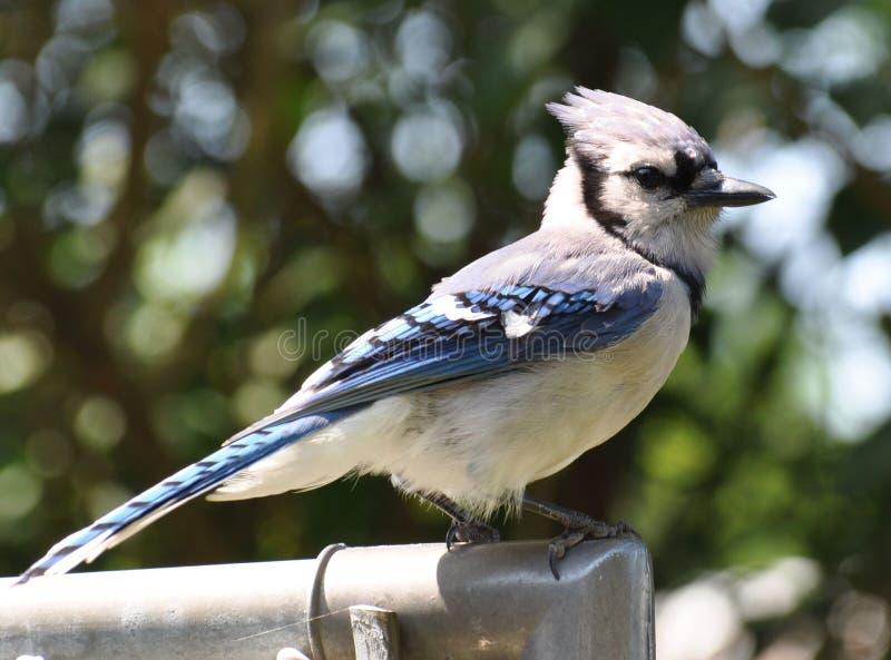Błękitnego Jay obsiadanie na ogrodzeniu zdjęcie stock