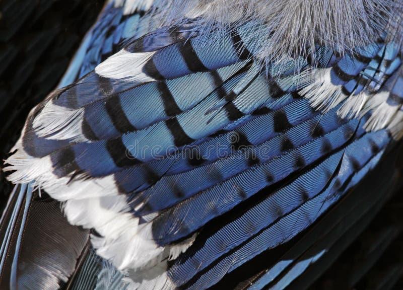 Błękitnego Jay piórka zdjęcia stock