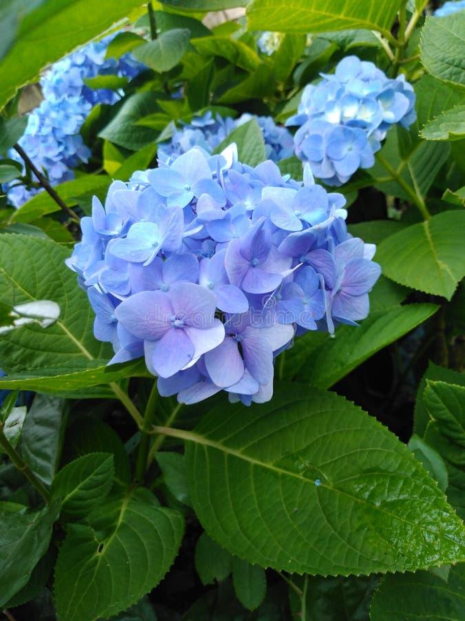 Błękitnego kwiat plamy tła hortensji kwiatu tapetowy obrazek obraz stock