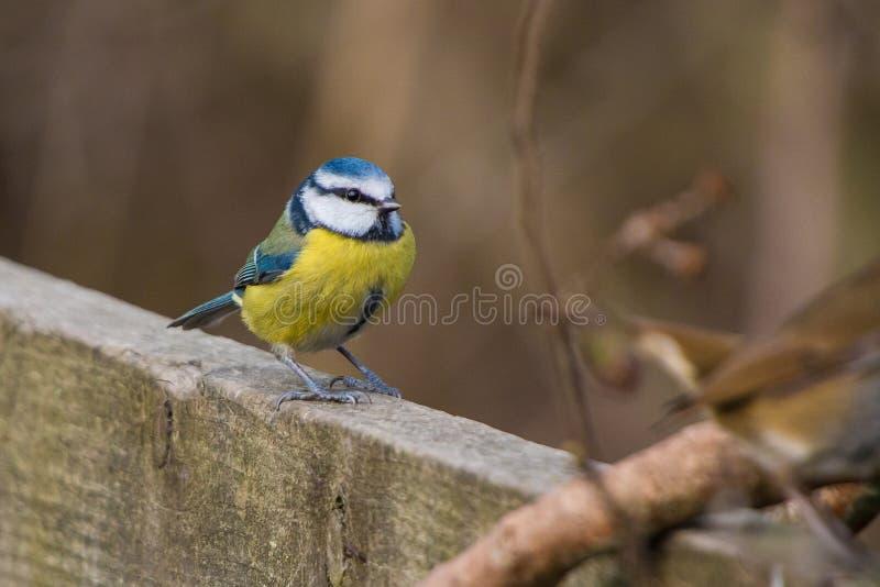 Błękitnego tit Cyanistes ptasi caeruleus obraz royalty free