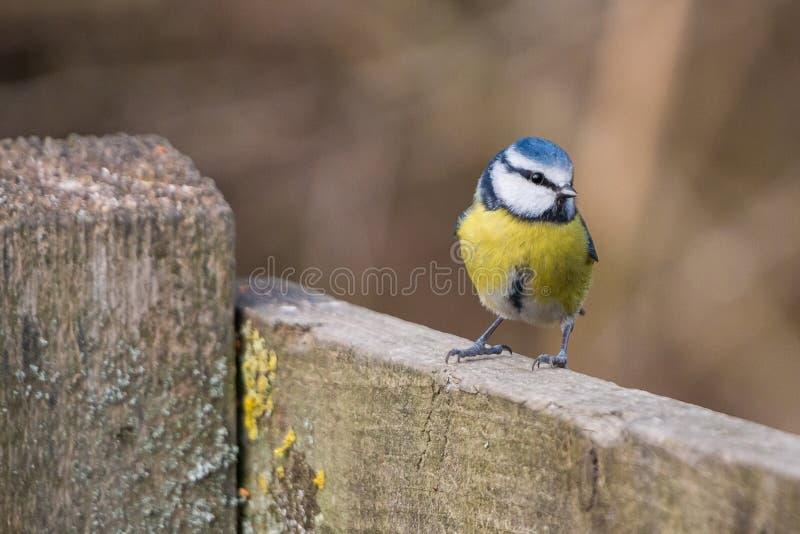 Błękitnego tit Cyanistes ptasi caeruleus zdjęcia royalty free