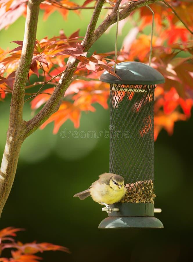 Błękitnego tit karmienie na słonecznikowym ziarnie od ptasiego dozownika zdjęcie royalty free