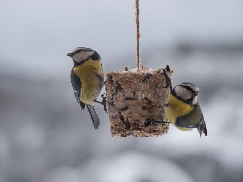 Błękitnego tit karmienie w zimnej zimie obrazy royalty free
