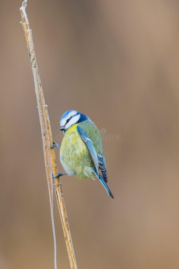 Błękitnego tit parus caeruleus ptasia pozycja na trzcinowym badylu zdjęcie stock