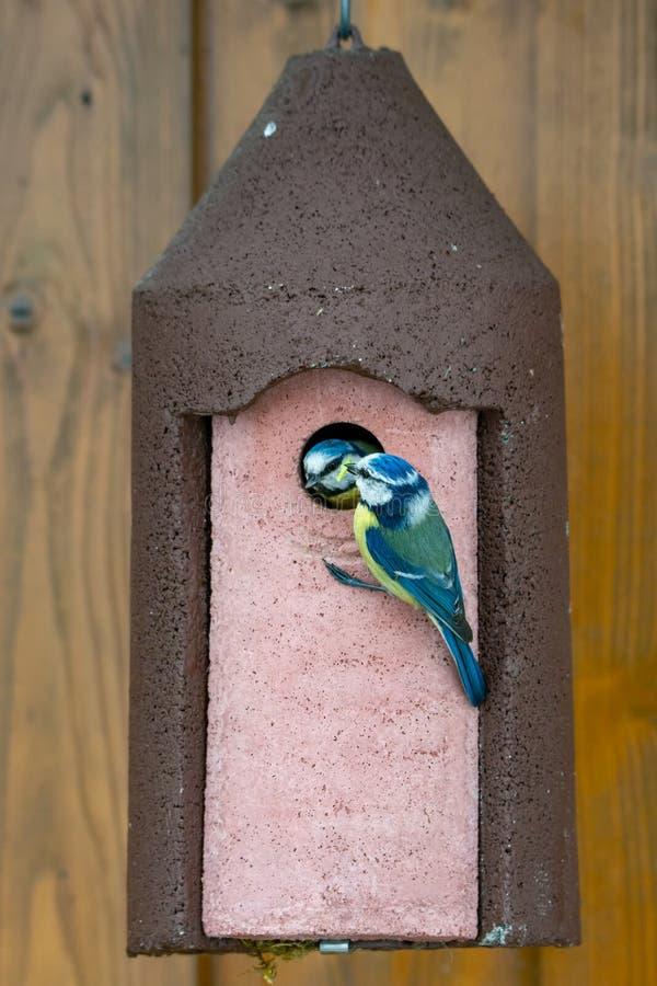 Błękitnego Tit ptasi karmienie swój dziecko przy birdhouse obrazy stock