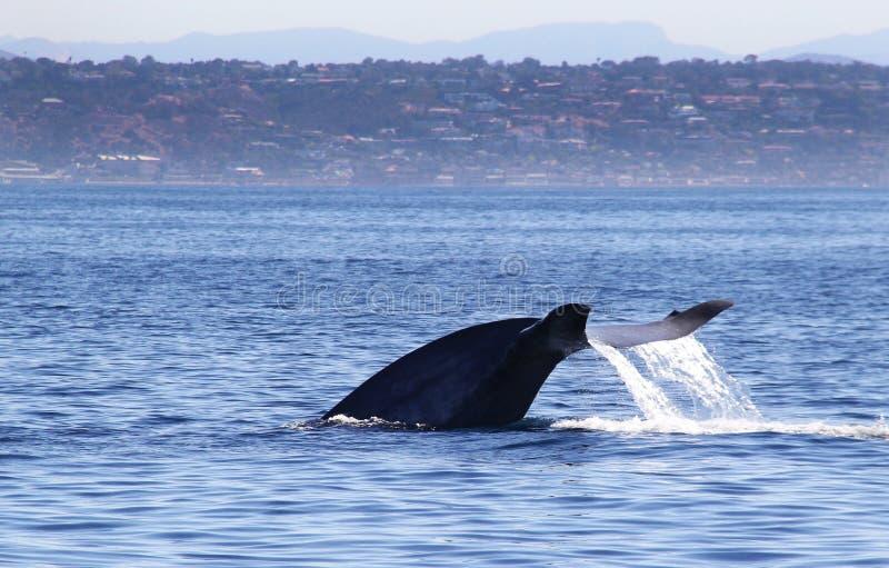 Błękitnego wieloryba ogonu fuksy w San Diego obraz stock