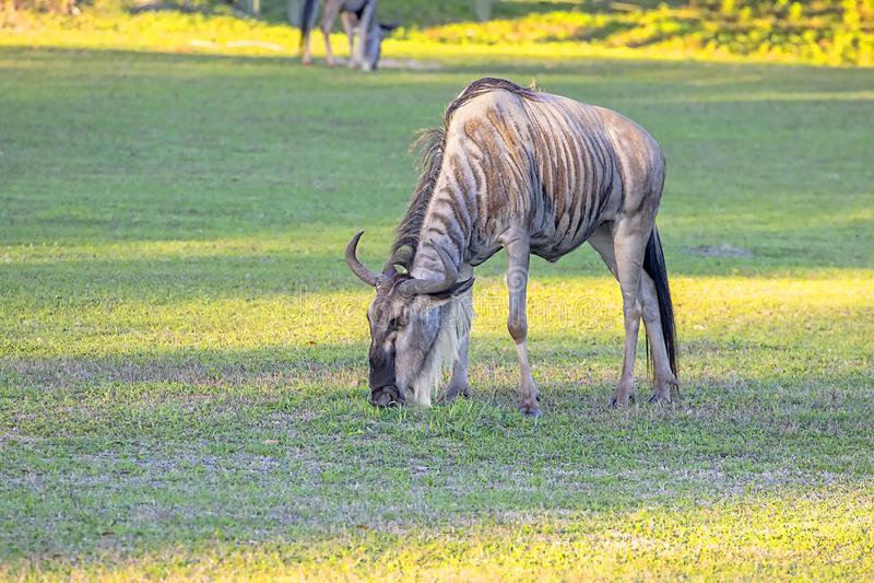 Błękitnego Wildebeest Pastwiskowa trawa zdjęcie royalty free